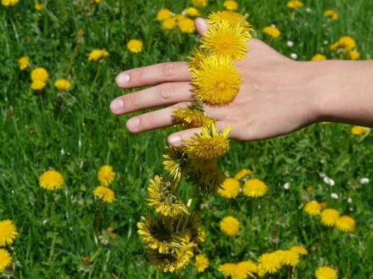 dandelion on hand